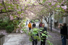 201204- Cherry Blossoms - April 2012