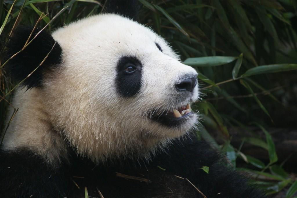 panda-1641560